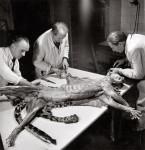 Robert Doisneau. Depecage jaguar, 1943