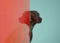 William Wegman. Retrato perro