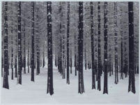 Albert Renger-Patzsch, Fir Trees in Winter, 1956